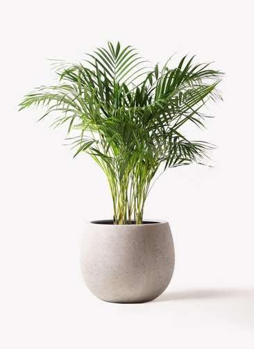 観葉植物 アレカヤシ 8号 テラニアス ローバルーン アンティークホワイト 付き