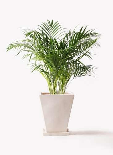観葉植物 アレカヤシ 8号 スクエアハット 白 付き