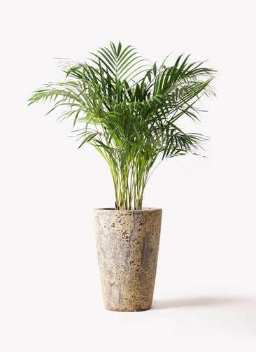 観葉植物 アレカヤシ 8号 アトランティス クルーシブル 付き