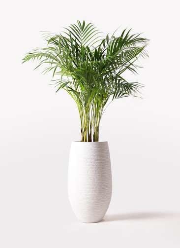 観葉植物 アレカヤシ 8号 フォンティーヌトール 白 付き