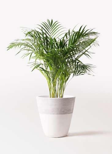 観葉植物 アレカヤシ 8号 ジュピター 白 付き