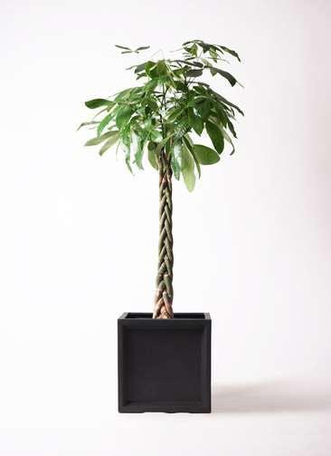 観葉植物 パキラ 10号 ねじり ブリティッシュキューブ 付き