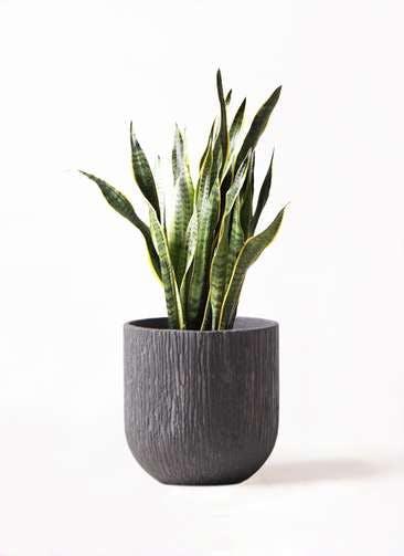 観葉植物 サンスベリア 8号 トラノオ カルディナダークグレイ 付き