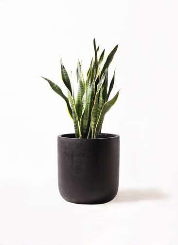 観葉植物 サンスベリア 8号 トラノオ エルバ 黒 付き