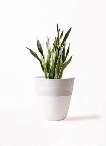 観葉植物 サンスベリア 8号 トラノオ ジュピター 白 付き