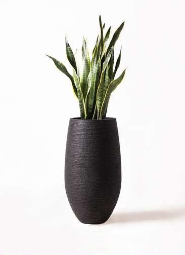 観葉植物 サンスベリア 8号 トラノオ フォンティーヌトール 黒 付き