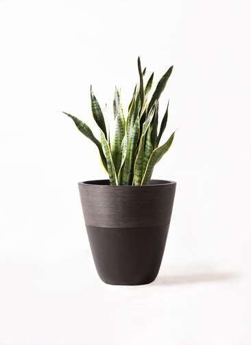観葉植物 サンスベリア 8号 トラノオ ジュピター 黒 付き