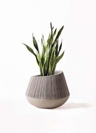 観葉植物 サンスベリア 8号 トラノオ エディラウンド グレイ 付き