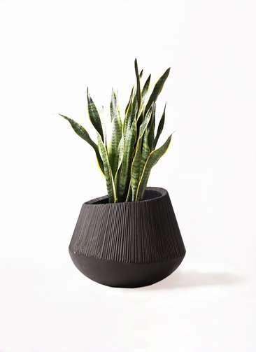 観葉植物 サンスベリア 8号 トラノオ エディラウンド 黒 付き