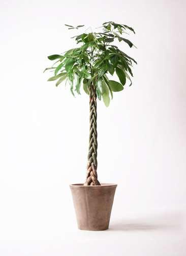 観葉植物 パキラ 10号 ねじり ルーガ アンティコ ソリッド 付き
