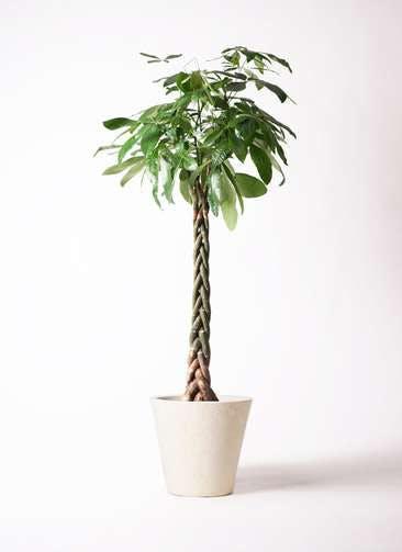 観葉植物 パキラ 10号 ねじり フォリオソリッド クリーム 付き