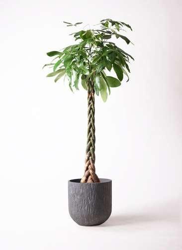観葉植物 パキラ 10号 ねじり カルディナダークグレイ 付き