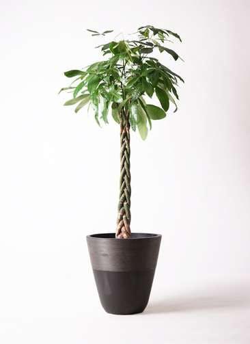 観葉植物 パキラ 10号 ねじり ジュピター 黒 付き