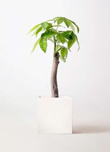 観葉植物 パキラ 8号 朴 バスク キューブ 付き