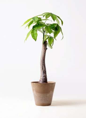 観葉植物 パキラ 8号 朴 アートストーン ラウンド ベージュ 付き