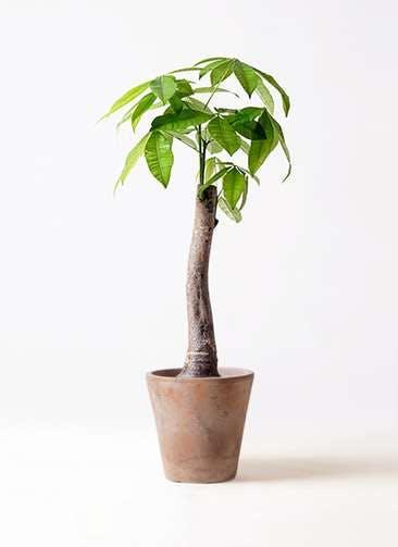 観葉植物 パキラ 8号 朴 ルーガ アンティコ ソリッド 付き