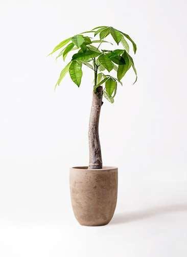 観葉植物 パキラ 8号 朴 ルーガ アンティコ アルトエッグ 付き