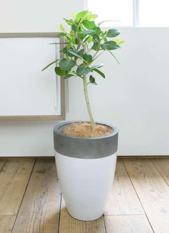 観葉植物 フィカス ベンガレンシス 7号 ストレート ファイバーストーン カプリ 白 付き