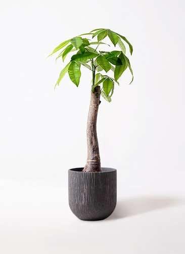 観葉植物 パキラ 8号 朴 カルディナダークグレイ 付き