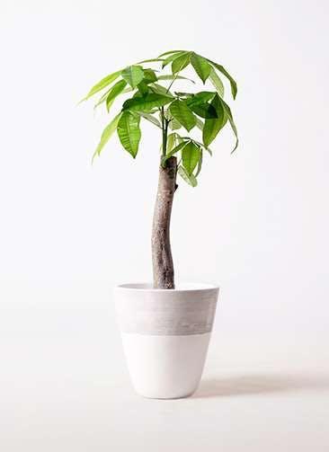 観葉植物 パキラ 8号 朴 ジュピター 白 付き