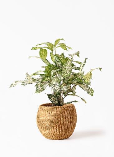 観葉植物 ドラセナ ゴッドセフィアーナ 4号 アバカバスケット タン 付き