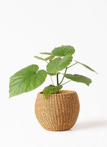 観葉植物 フィカス ウンベラータ 4号 ノーマル アバカバスケット タン 付き