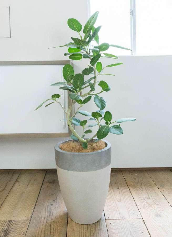 観葉植物 フィカス ベンガレンシス 8号 曲り ファイバーストーン カプリ サンディホワイト 付き