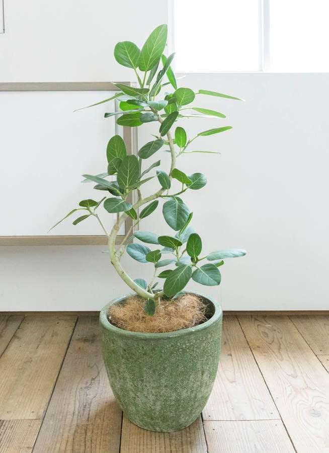 観葉植物 フィカス ベンガレンシス 8号 曲り アビスソニア ミドル 緑 付き