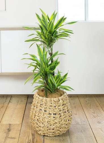 観葉植物 ドラセナ ワーネッキー レモンライム 8号 ラッシュバスケット Natural 付き