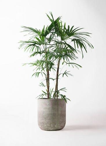 観葉植物 シュロチク(棕櫚竹) 10号 エルバ 白 付き