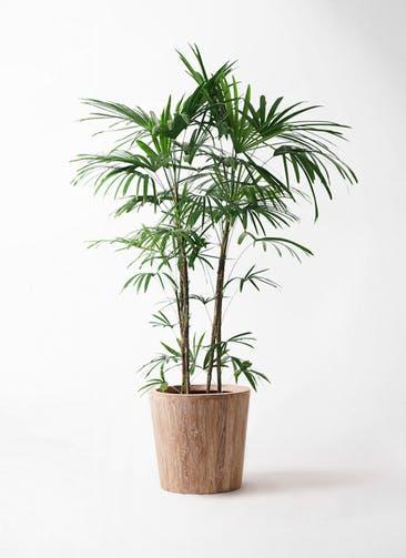 観葉植物 シュロチク(棕櫚竹) 10号 ウッドプランター 付き