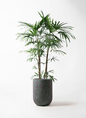 観葉植物 シュロチク(棕櫚竹) 10号 カルディナトールダークグレイ 付き