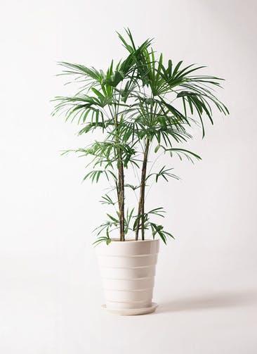 観葉植物 シュロチク(棕櫚竹) 10号 サバトリア 白 付き