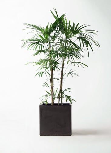 観葉植物 シュロチク(棕櫚竹) 10号 ファイバークレイ キューブ 付き