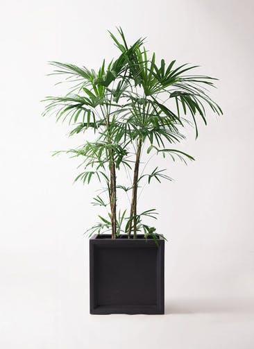 観葉植物 シュロチク(棕櫚竹) 10号 ブリティッシュキューブ 付き