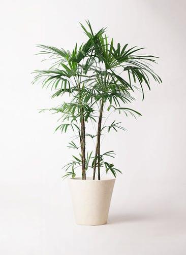 観葉植物 シュロチク(棕櫚竹) 10号 フォリオソリッド クリーム 付き