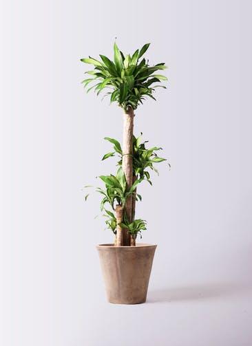 観葉植物 ドラセナ 幸福の木 10号 ノーマル ルーガ アンティコ ソリッド 付き