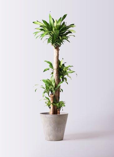 観葉植物 ドラセナ 幸福の木 10号 ノーマル アートストーン ラウンド グレー 付き