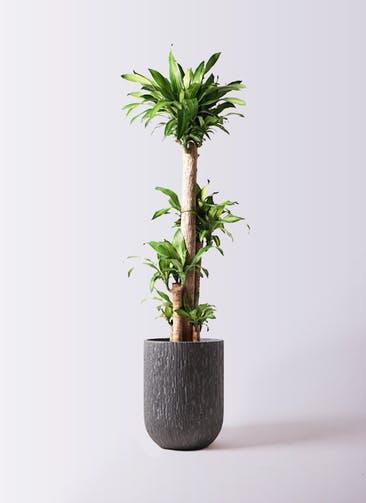 観葉植物 ドラセナ 幸福の木 10号 ノーマル カルディナトールダークグレイ 付き