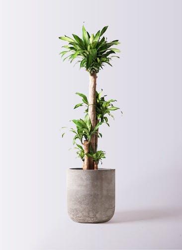 観葉植物 ドラセナ 幸福の木 10号 ノーマル エルバ 白 付き
