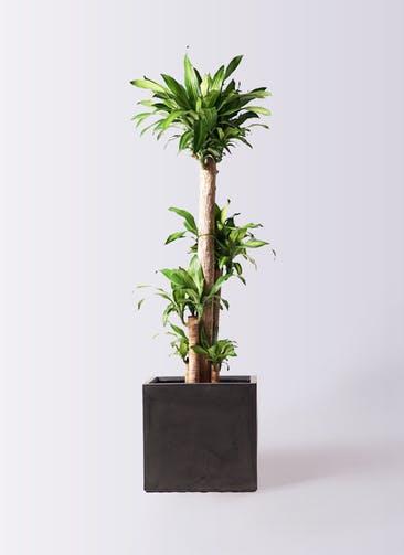 観葉植物 ドラセナ 幸福の木 10号 ノーマル ファイバークレイ キューブ 付き