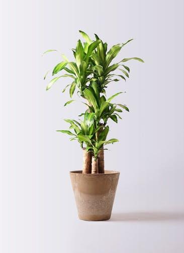 観葉植物 ドラセナ 幸福の木 8号 ノーマル アートストーン ラウンド ベージュ 付き