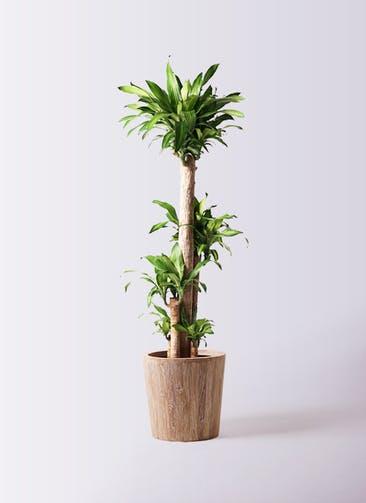 観葉植物 ドラセナ 幸福の木 10号 ノーマル ウッドプランター 付き