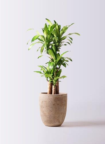 観葉植物 ドラセナ 幸福の木 8号 ノーマル ルーガ アンティコ アルトエッグ 付き