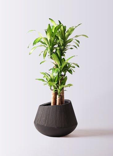観葉植物 ドラセナ 幸福の木 8号 ノーマル エディラウンド 黒 付き