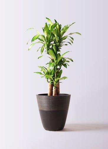 観葉植物 ドラセナ 幸福の木 8号 ノーマル ジュピター 黒 付き