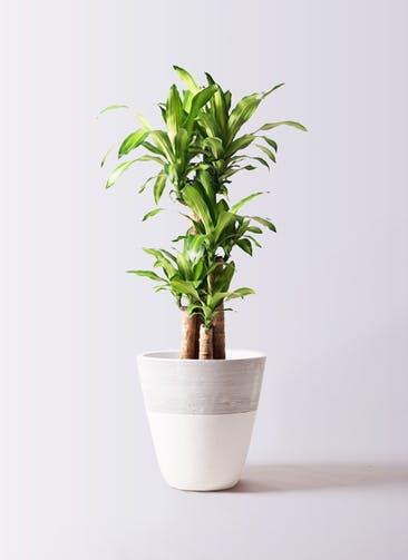 観葉植物 ドラセナ 幸福の木 8号 ノーマル ジュピター 白 付き