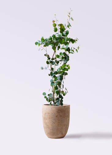 観葉植物 ユーカリ 8号 ポリアンセモス ルーガ アンティコ アルトエッグ 付き