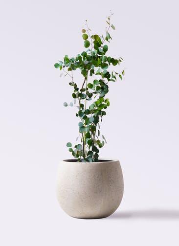 観葉植物 ユーカリ 8号 ポリアンセモス テラニアス ローバルーン アンティークホワイト 付き