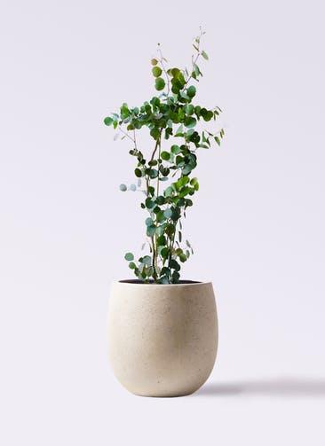 観葉植物 ユーカリ 8号 ポリアンセモス テラニアス バルーン アンティークホワイト 付き